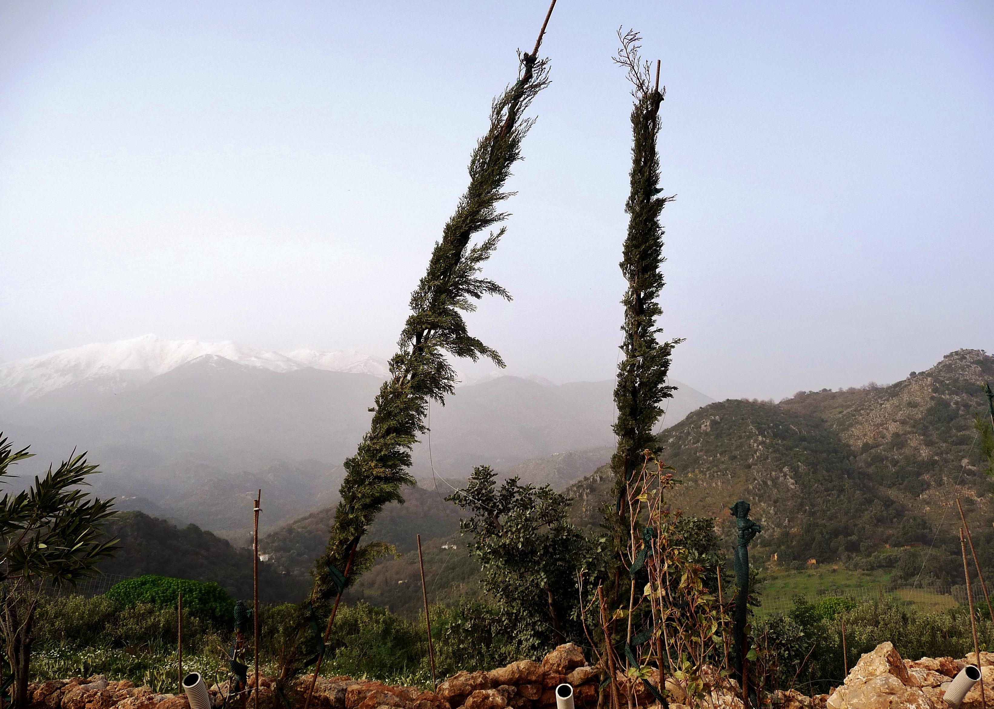 Raki for the cypresses