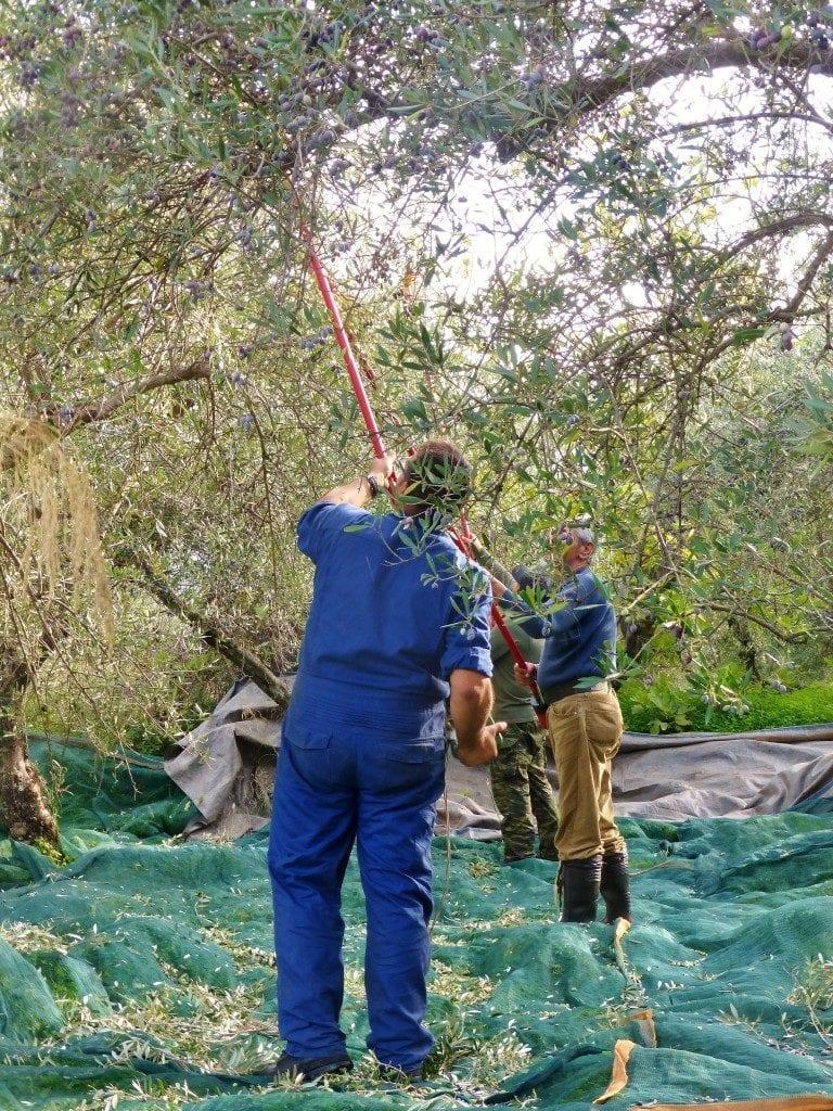 Harvesting olives for Cretan olive oil