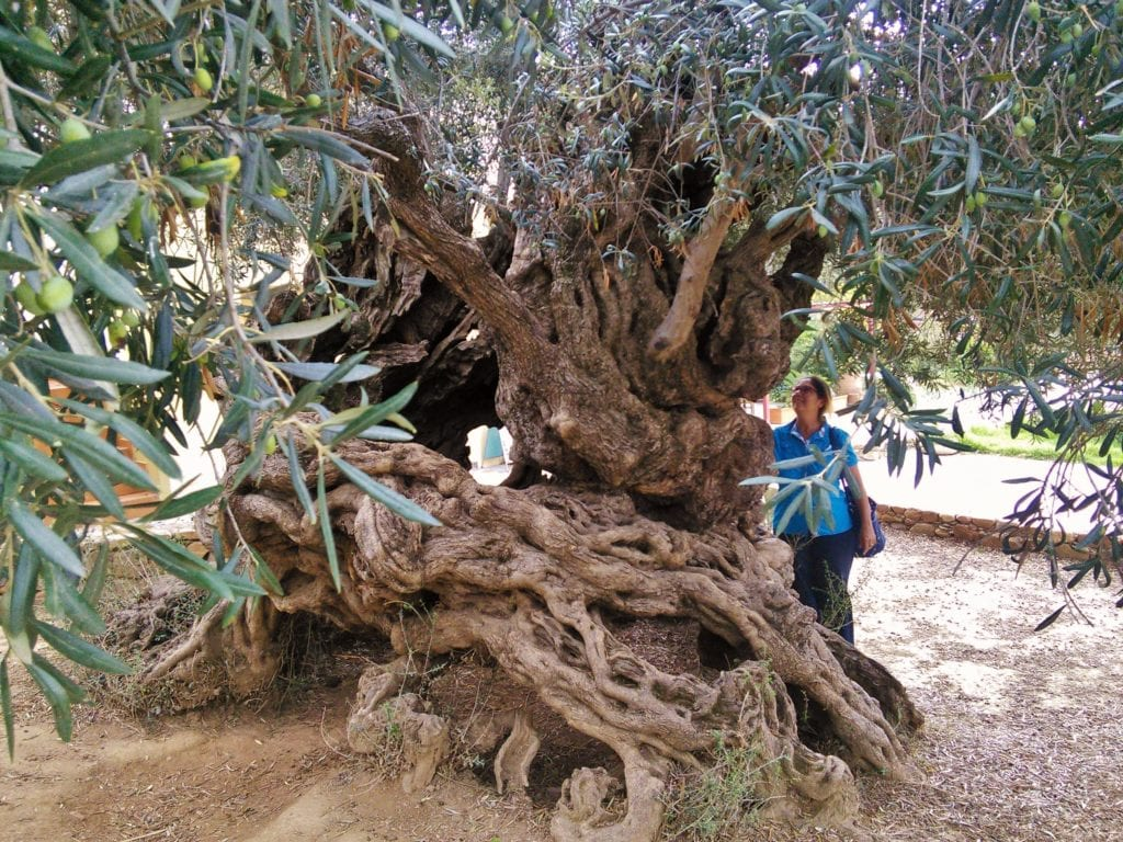 The ancient olive tree at Vouves