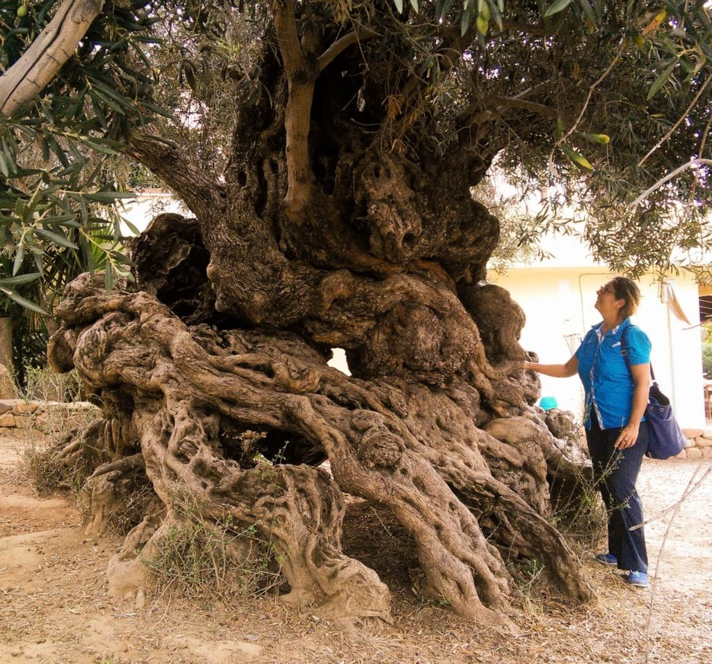 Seeing the old olive tree at Gouves is another one of the ten things to do in Crete that you shouldnt miss