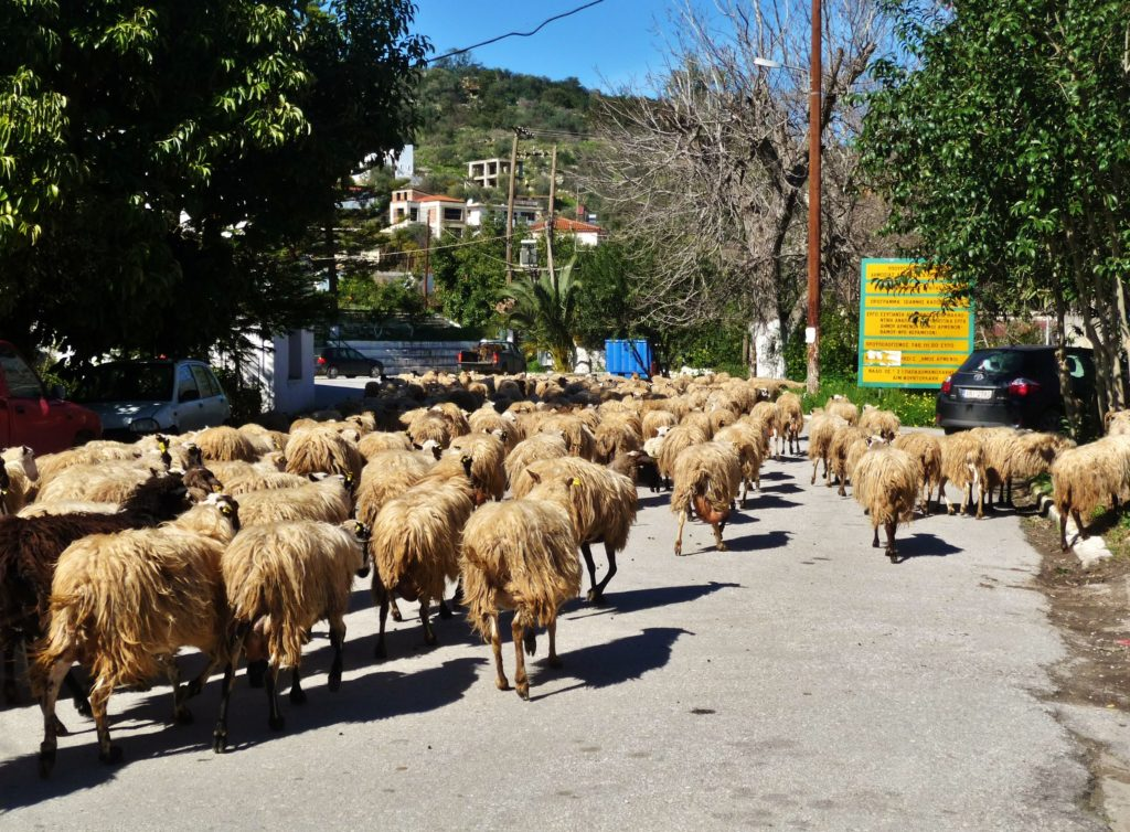 Sheep passing in Stylos in the Apokoronas