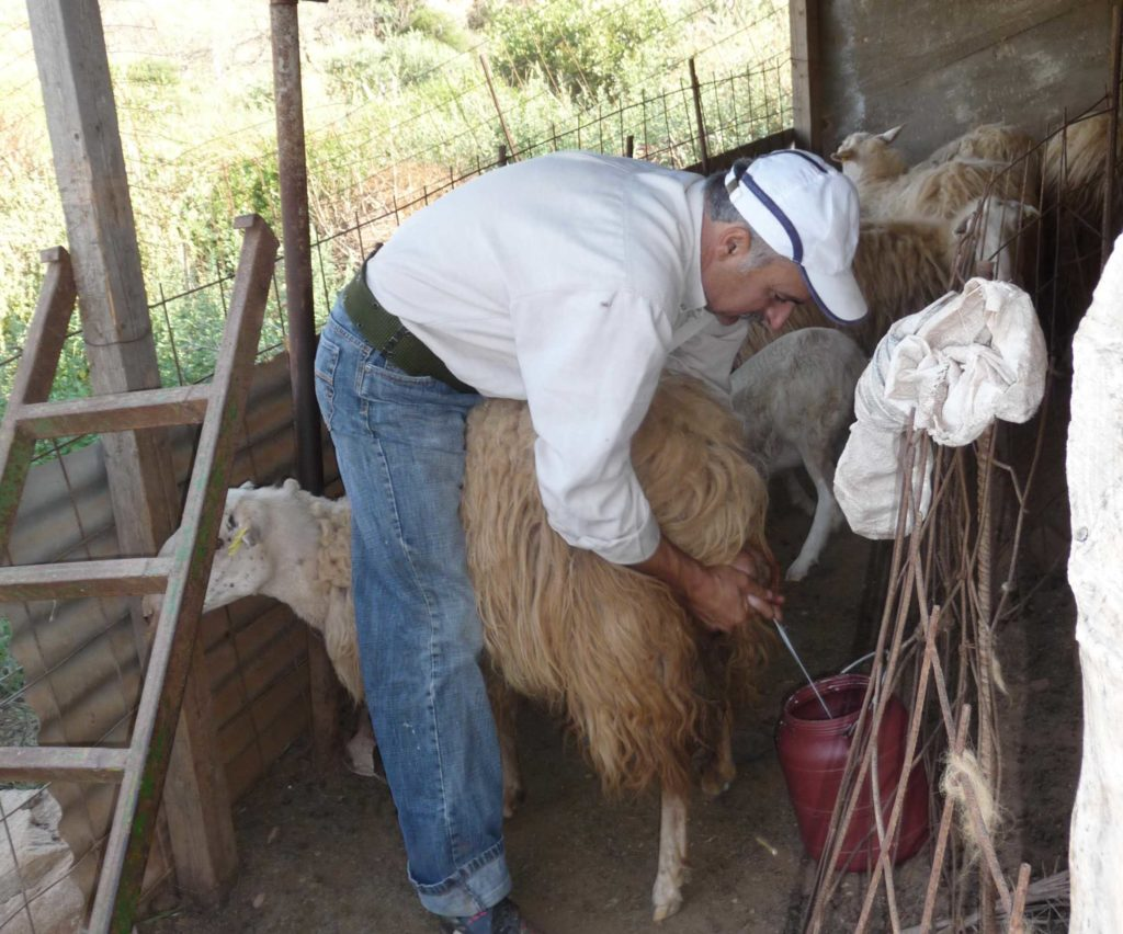 Milking sheep in the Cretan countryside