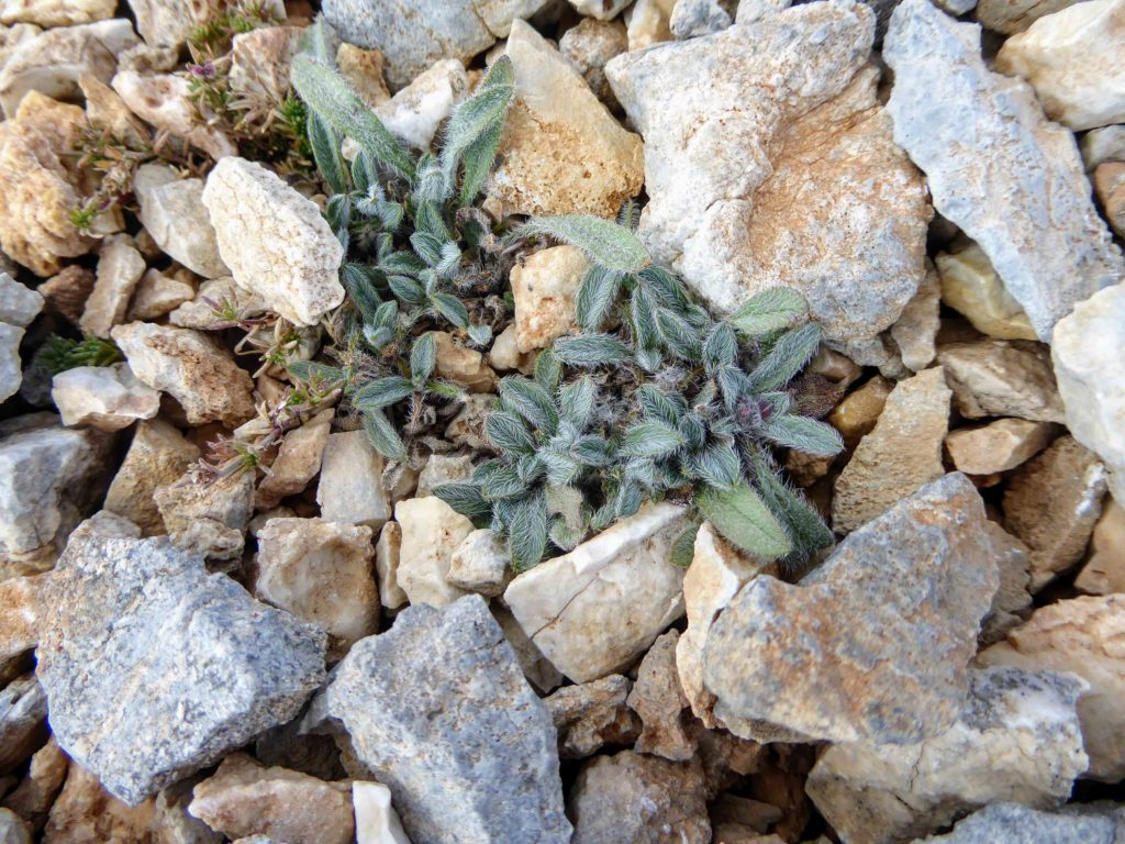 Tiny plant growing at 2400m amongst the stones