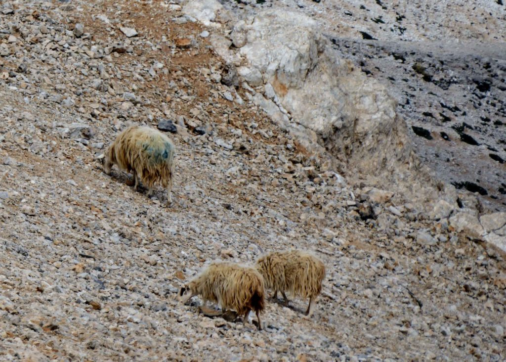 Sheep grazing on what? in the midst of the shale and scree on the mountain top